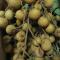 Nhãn tiêu Ido xuất khẩu Cái Bè Tiền Giang -----[Ảnh 3]-----